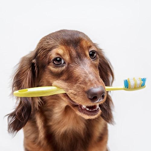 Dog teeth cleaning brushing