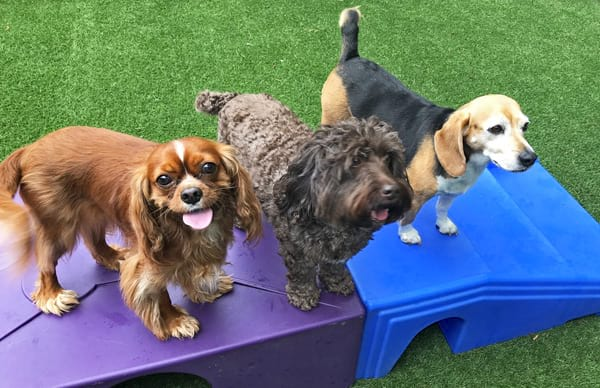 happy dogs playing daycare